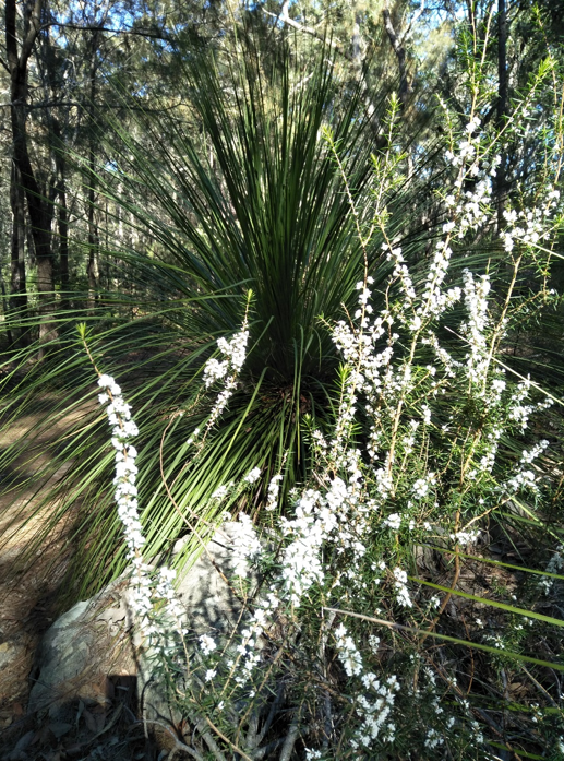 Xanthorrhea or grass tree, K Moppett